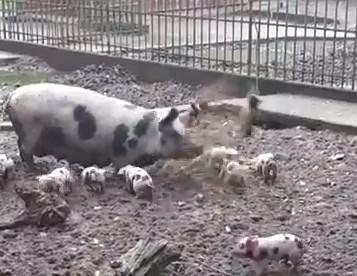 穴を掘る親豚に突き飛ばされてしまった子豚