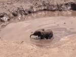 象の親を追い払って赤ちゃんを救助する動物レスキュー隊