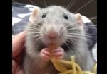 スパゲッティをムシャムシャ食べるネズミ