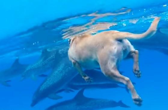 美しい海でイルカの群れと泳ぐワンコの映像