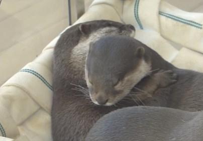 抱き合いながら眠るコツメカワウソ