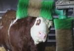 ブラッシングマシーンでグルーミングする牛