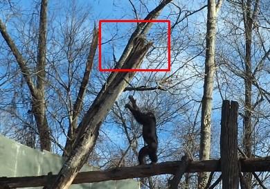 チンパンジーに追い詰められたアライグマ