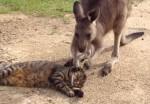 ニャンコの頭をマッサージするカンガルー