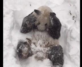 スミソニアン国立動物園のパンダ、積雪歓迎!