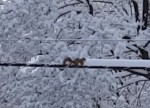 電線に積もった雪を除雪するリス