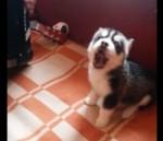 アコーディオンの演奏に合わせて歌う子犬の映像