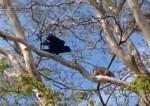 木の上でカラスに襲われるポッサムの映像