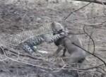 ヒョウがイボイノシシを仕留めるもライオンに奪われる