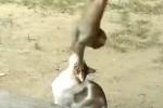 猿の赤ちゃん vs. ニャンコ
