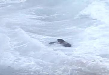 大荒れの海で波と戦うアザラシの赤ちゃん