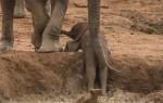 水たまりから出られなくなった象の赤ちゃん