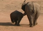 サイ vs. 若いゾウ ヘビー級草食動物対決の映像
