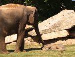 なかなか目覚めない象の赤ちゃんを飼育員が起こしてあげる