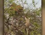トラが木の頂上付近まで登ってサルの狩りに挑戦