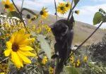 ヒマワリの花の茎に引っかかり動けなくなった子猫