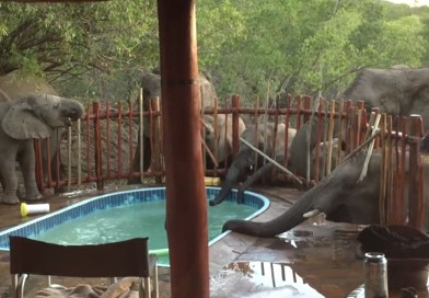 ゾウの群れがプールの水を飲みに来た!