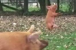母豚に突き飛ばされ宙を舞う豚の赤ちゃん