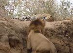 昼寝中のヒョウを雄ライオンが襲撃