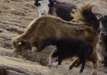 ヤクの子供を襲うユキヒョウ vs. ヤクの母親