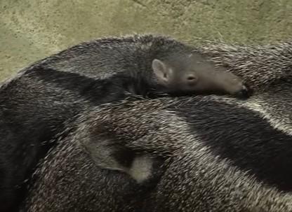 オオアリクイの赤ちゃん「お母さんの背中は居心地最高」