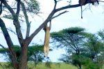 木登りにチャレンジするライオン、力尽きる