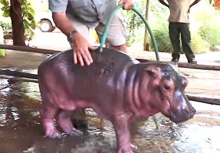 泥沼から出られなくなったカバの赤ちゃん救出大作戦
