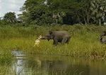 ゾウに襲いかかる巨大なワニ