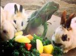 ウサギとイグアナとカメとニワトリがサラダパーティ