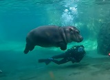 素潜り上手なシンシナティ動物園のカバの赤ちゃん