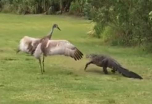 ワニを威嚇して追い払う鳥