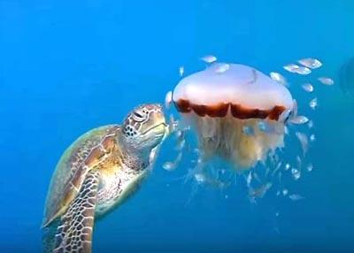 クラゲを食べるウミガメ