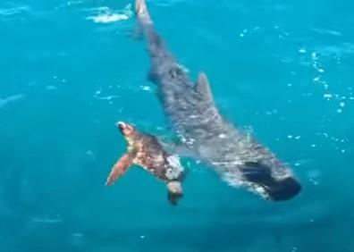サメの攻撃を見事に回避するウミガメ