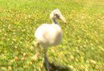 ピーヒョピーヒョと鳴きながら走り回るフラミンゴの雛