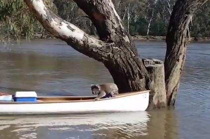 カヌーを使って増水した川に取り残されたコアラを救出