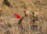 3頭のライオン vs. マングース
