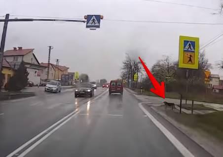 ワンコが横断歩道を渡ろうとしてる、停まってあげて!