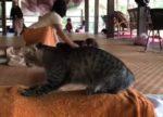 猫のマッサージ師