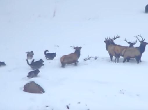 オオカミの群れのヘラジカ狩り